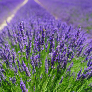 Lavender essential oils for yoga